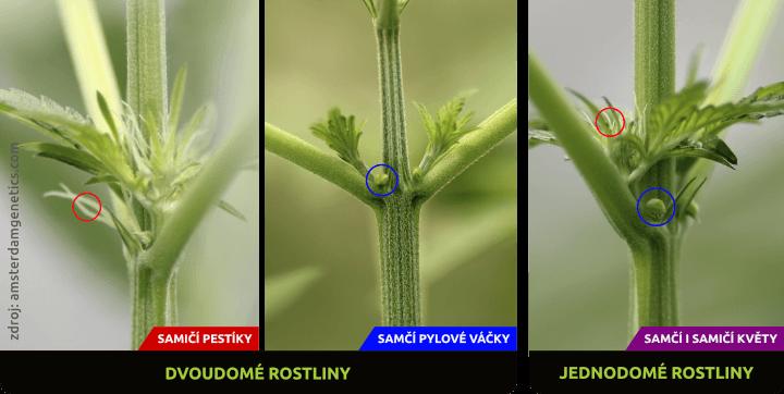 Rozdíl mezi jednodomou a dvoudomou rostlinou konopí