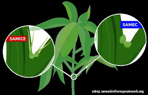 Jak rozeznat samčí a samičí rostlinu konopí?